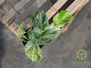 Marble Queen Pothos Epipremnum for sale in Canada