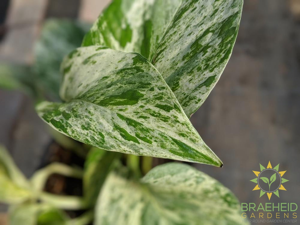 Marble Queen Pothos Leaf Photo
