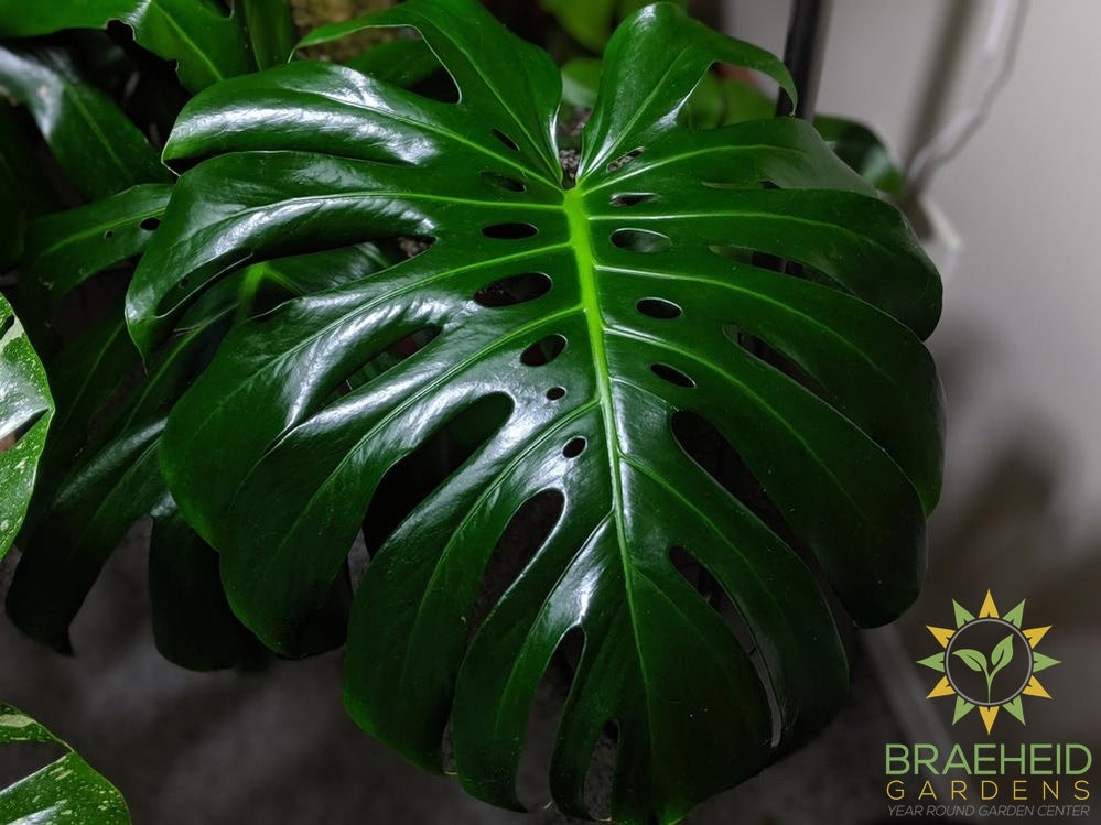 Mature split leaf philodendron foliage.