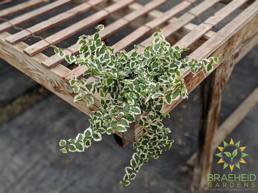 Variegated Creeping Ficus