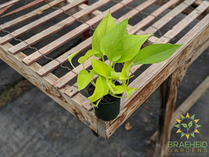 Buy Neon Pothos in Canada
