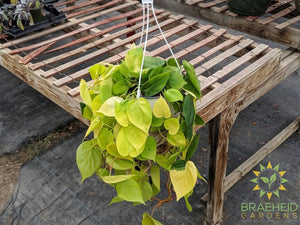 Lime Neon Philodendron Hanging Basket