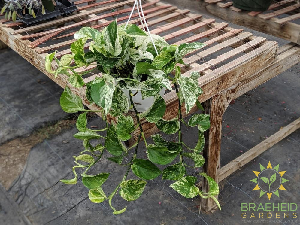Marble Queen Pothos Hanging Basket