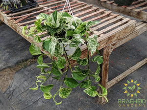 Hanging Basket Marble Queen Pothos in Canada