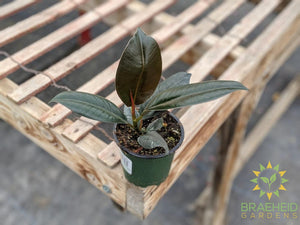 Rubber Tree - Ficus Robusta