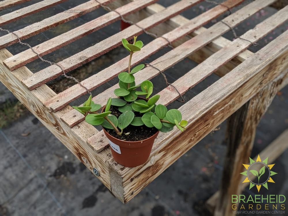Buy Peperomia Hope online in Canada