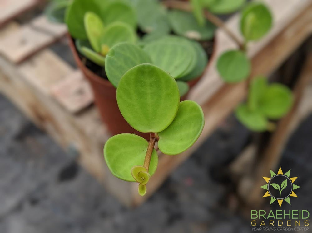 Peperomia hope leaf photo