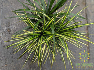 Large Dragon Tree - Dracaena Kiwi - NO SHIP