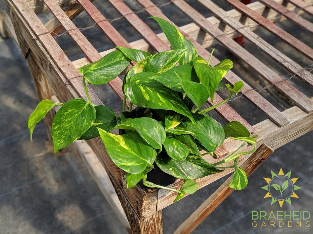 Buy Golden Pothos online in Canada