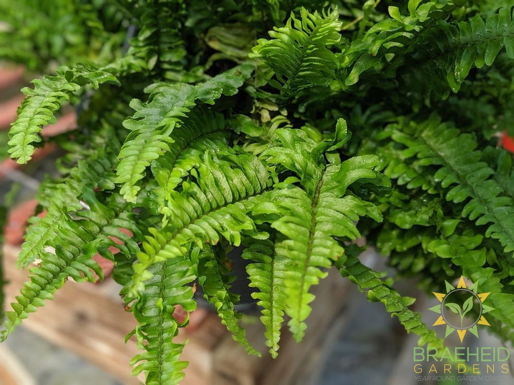 Boston Fern - Hanging Basket