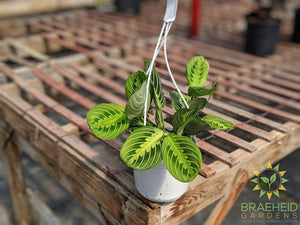 Lemon lime Prayer Plant Hanging Basket