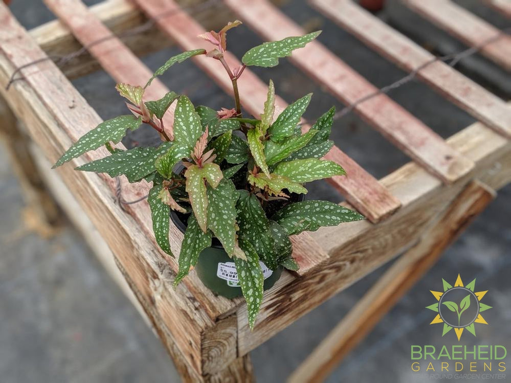 Angel wing begonia houseplant for sale in canada
