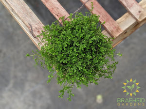 club moss houseplant in canada online