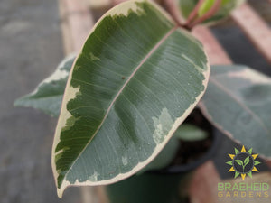 Variegated Rubber Tree - Ficus Tineke