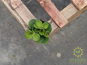 Buy Peperomia hope houseplant online