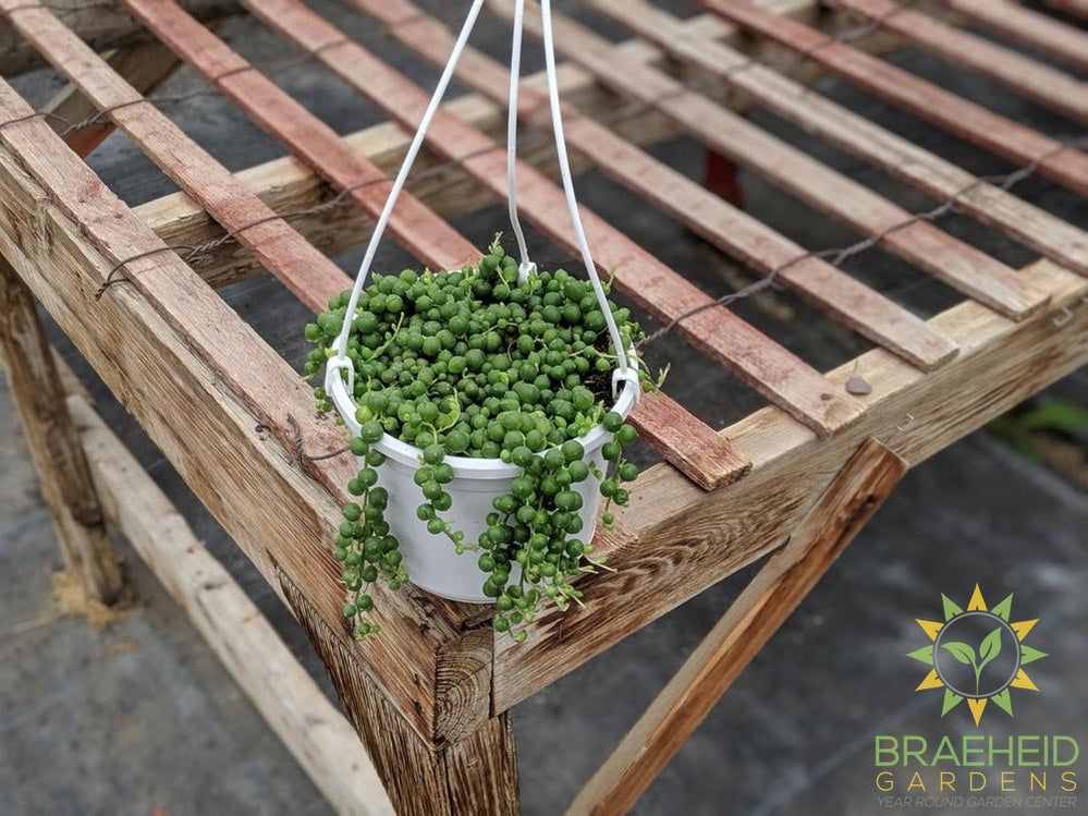 String of Pearl Hanging Basket