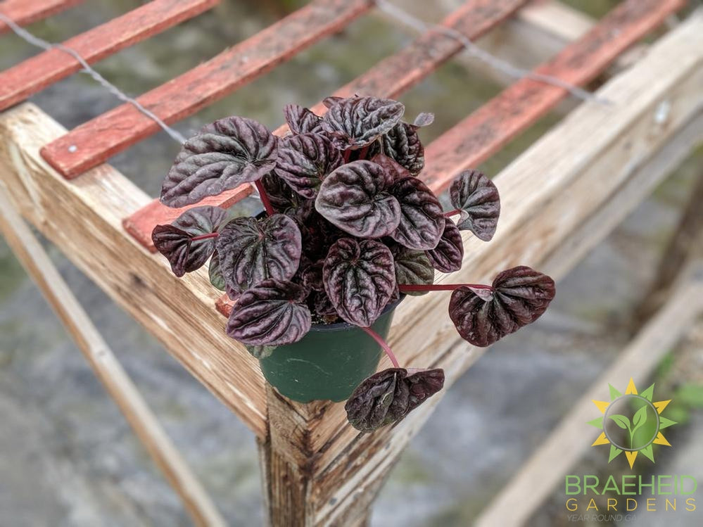 Peperomia Red Ripple
