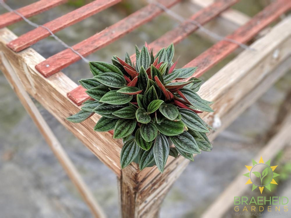 Peperomia Red Rosso