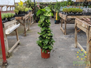 Large Golden Pothos on a pole - NO SHIP