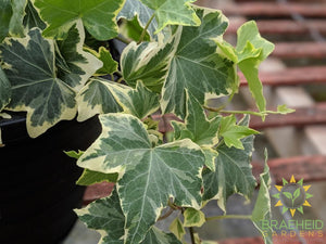Variegated English Ivy Hanging Basket