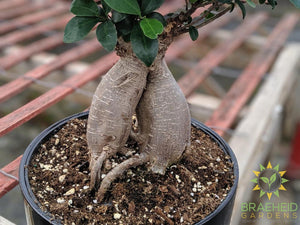 Exposed Root Ficus Ginseng Bonsai