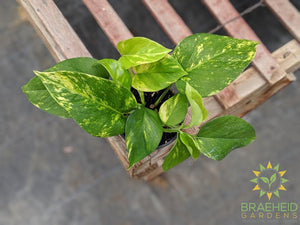 Shop for Golden Pothos in Canada