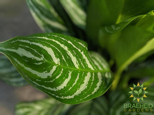 Large Stripes Chinese Evergreen - NO SHIP