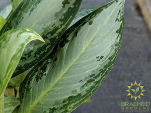 Large Silver Bay Chinese Evergreen - NO SHIP