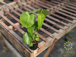 Young Split Leaf Philodendron plant