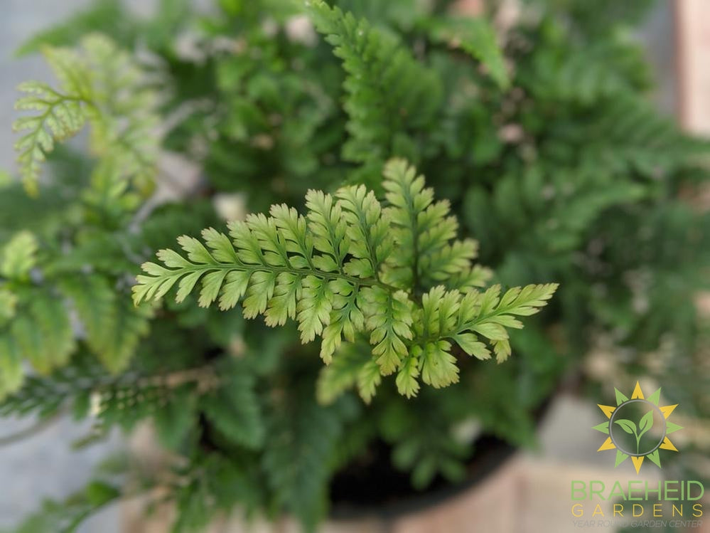 White Rabbit Foot Fern