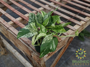 Shop for Marble Queen Pothos in Canada