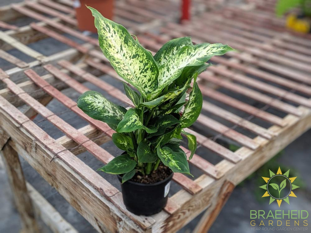 Dieffenbachia Perfection