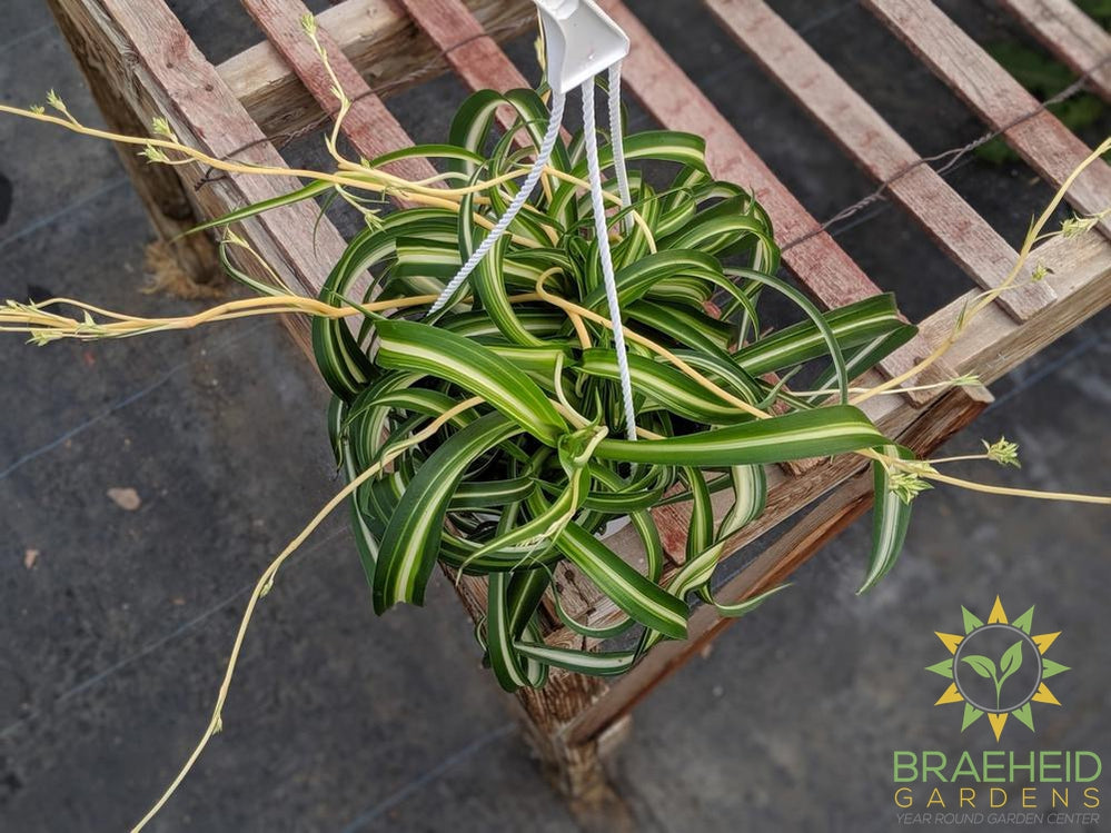 Curly spider plant Hanging Basket