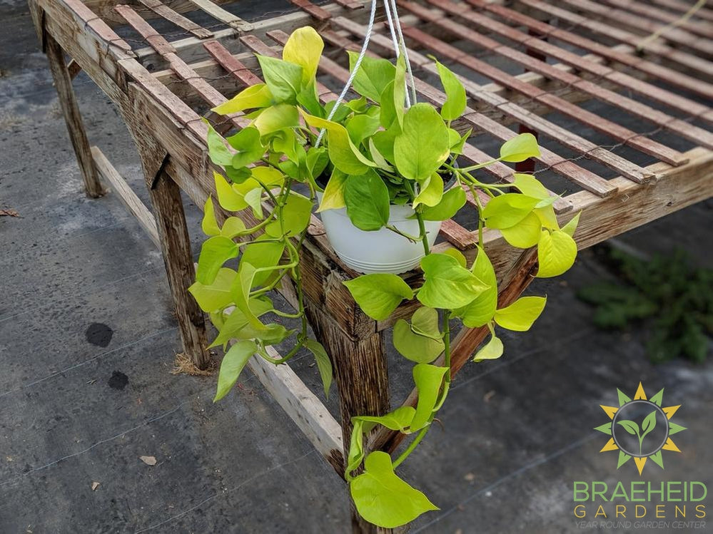 Moonlight Pothos Hanging Basket