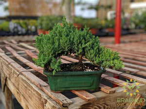 Japanese Shimpaku Juniper Bonsai