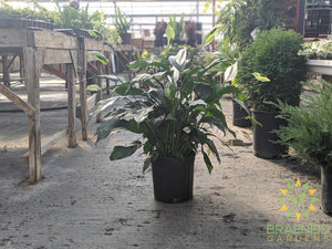 Large Peace Lily Sensation - NO SHIP