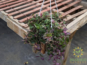 Rainbow Wandering Jew - Hanging Basket ~ Limit 1 per cutomer