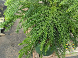 Norfolk Pine - No Ship