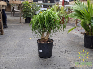 Large Ponytail Palm - NO SHIP
