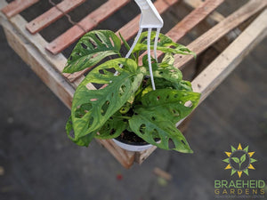 Swiss Cheese Vine hanging basket (Monstera Adansonii) (Large Cultivar)
