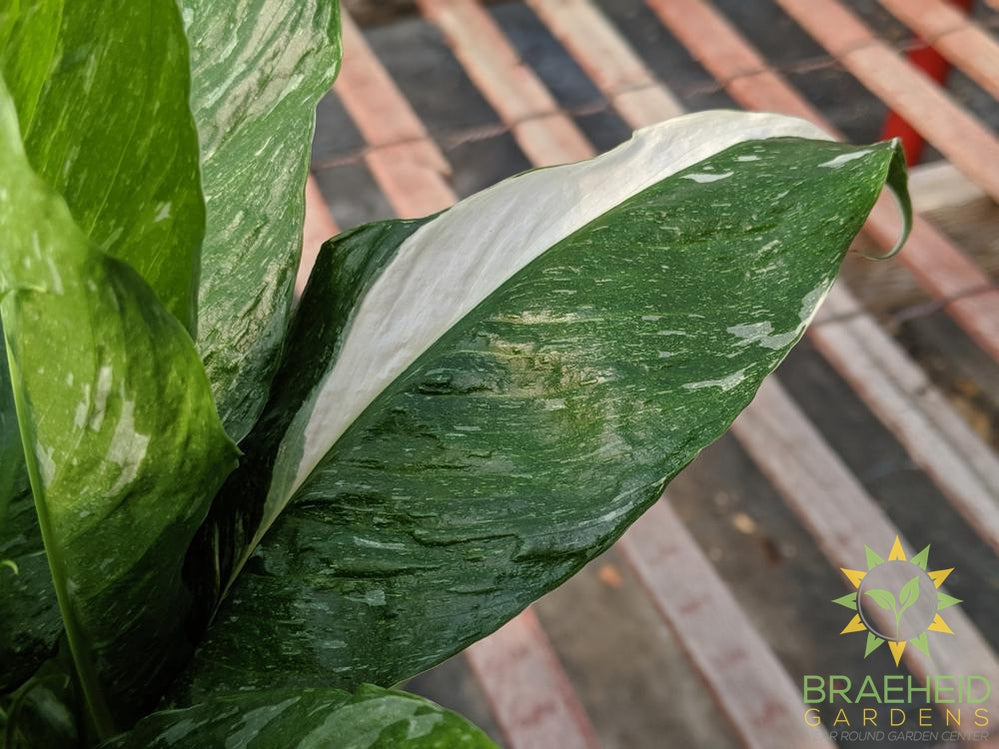 Peace Lily Domino - Variegated
