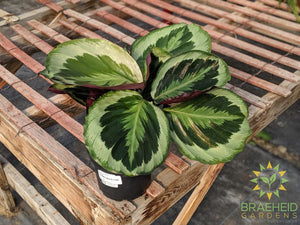 Calathea Shining star