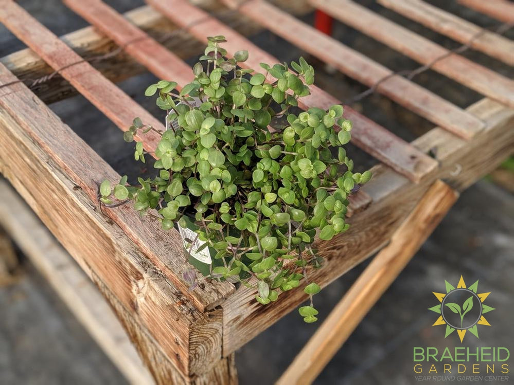Thai constellation Philodendron – Braeheid Gardens Ltd