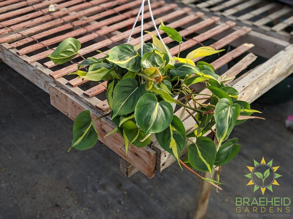 Buy Brazil Philodendron plant in Canada