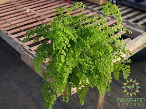 Maidenhair fern plant for sale in canada