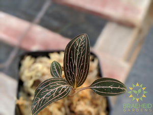 Ludisia Lightning Jewel Orchid
