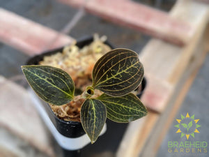 Dossinia Dominyl Jewel Orchid