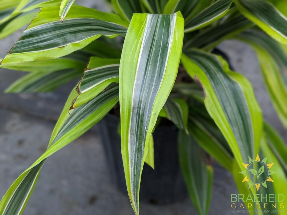 Large Dracaena Goldstar / Lemon Lime- NO SHIP