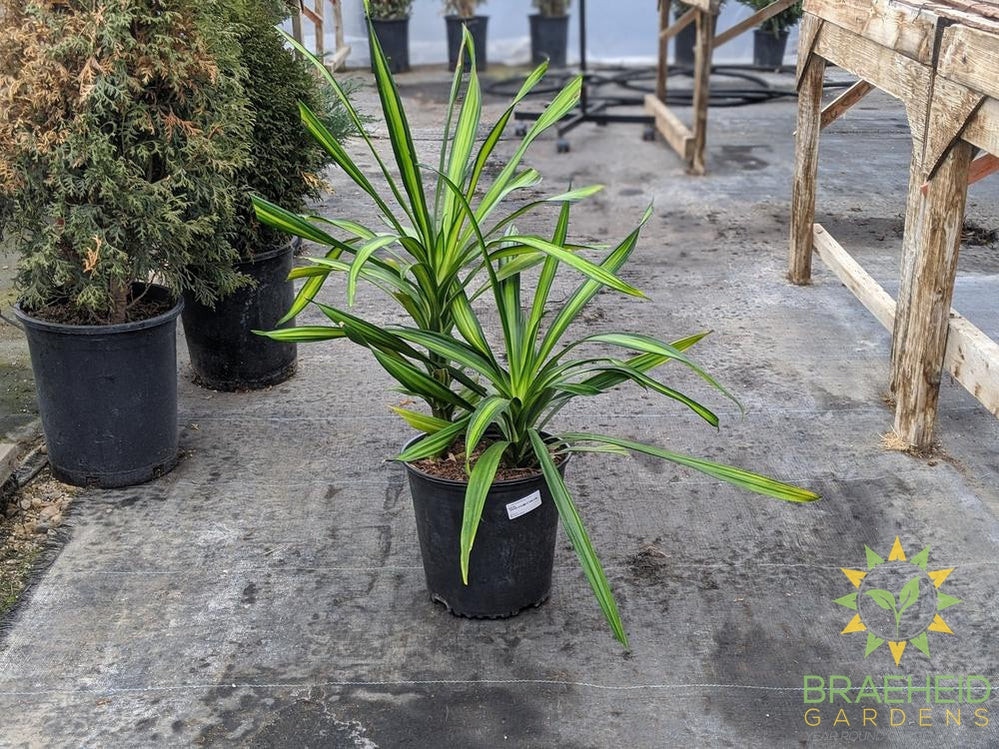 Large Dracaena Rikki Bush - NO SHIP