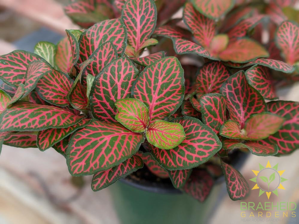 Red Nerve Plant